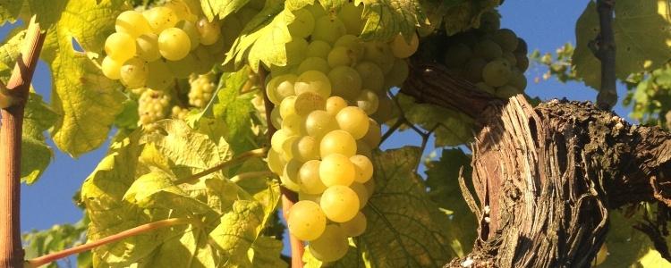 Produzione vini di qualit� a Cassinasco, Asti