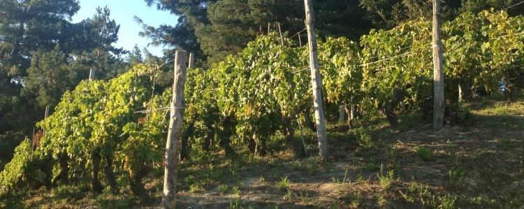Produzione vino bianco a Cassinasco, Asti